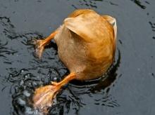 morning-orange-duck-medium